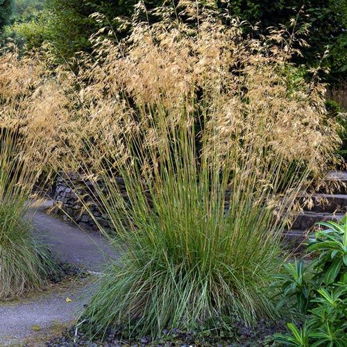 Okrasné trávy - Metlica 'Goldschleier'