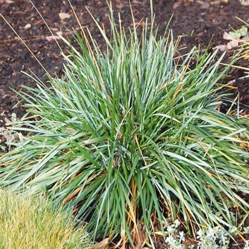 Okrasné trávy - Ostrevka karpatská