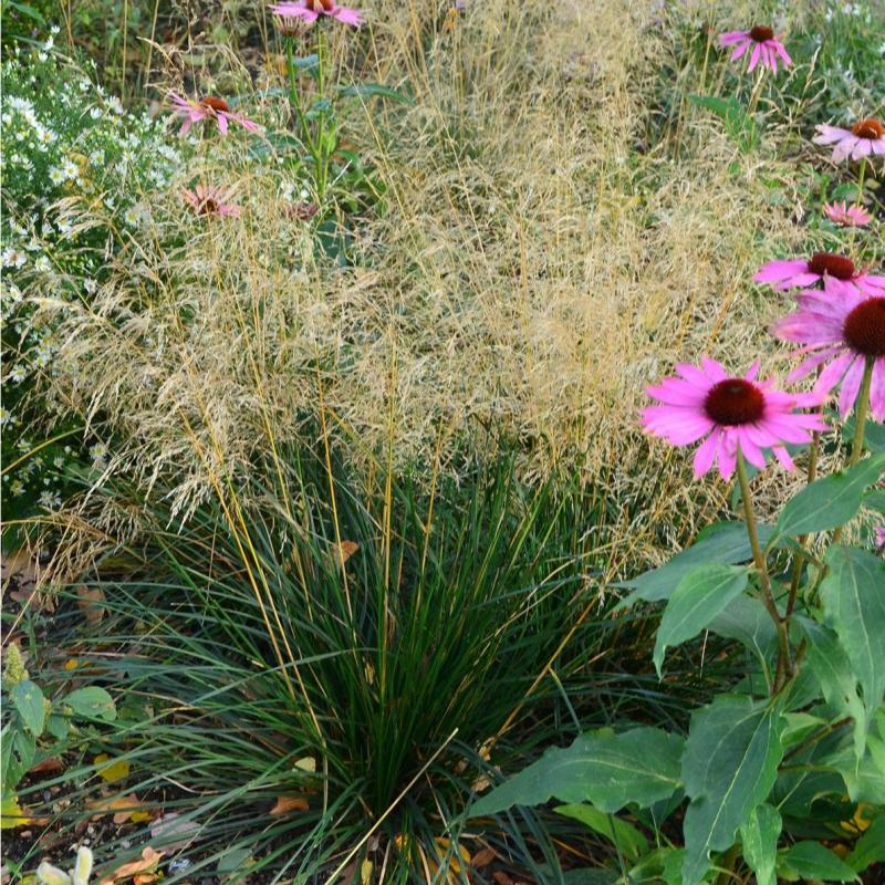 Okrasné trávy - Metlica 'Palava'