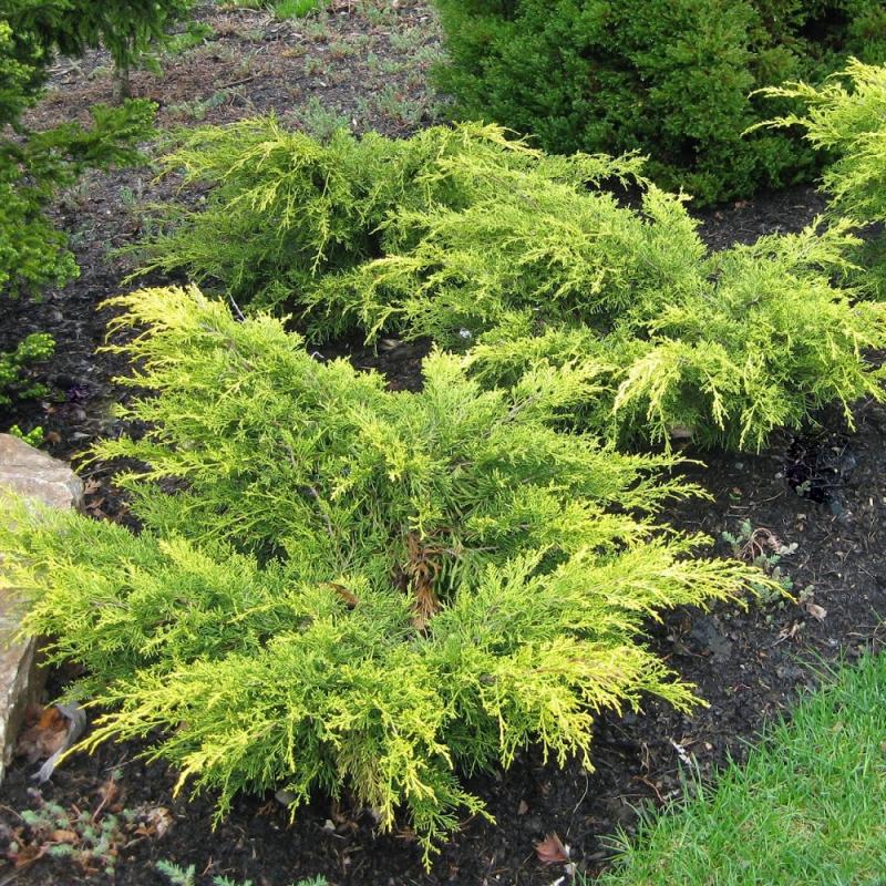 Plazivé rastliny - Borievka prostredná ´Old Gold´