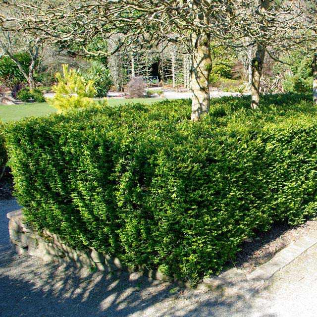 Živé ploty - Zemolez kapucňovitý