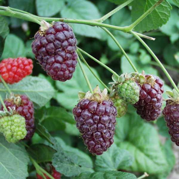 Drobné ovocie - Malinočernica ´Buckingham Tayberry´