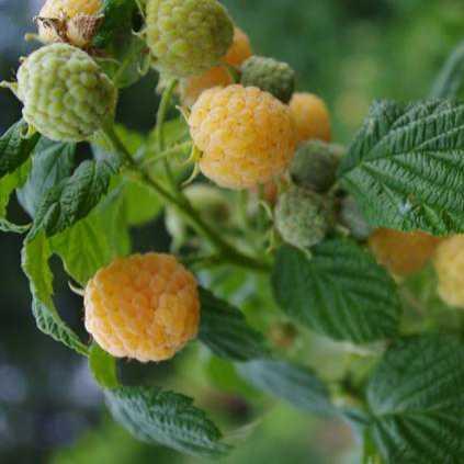 Drobné ovocie - Malina žltá ´Golden Everest´