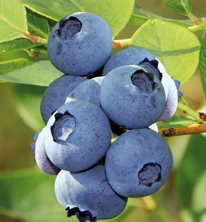 Drobné ovocie - Čučoriedka kanadská ´Bluecrop´