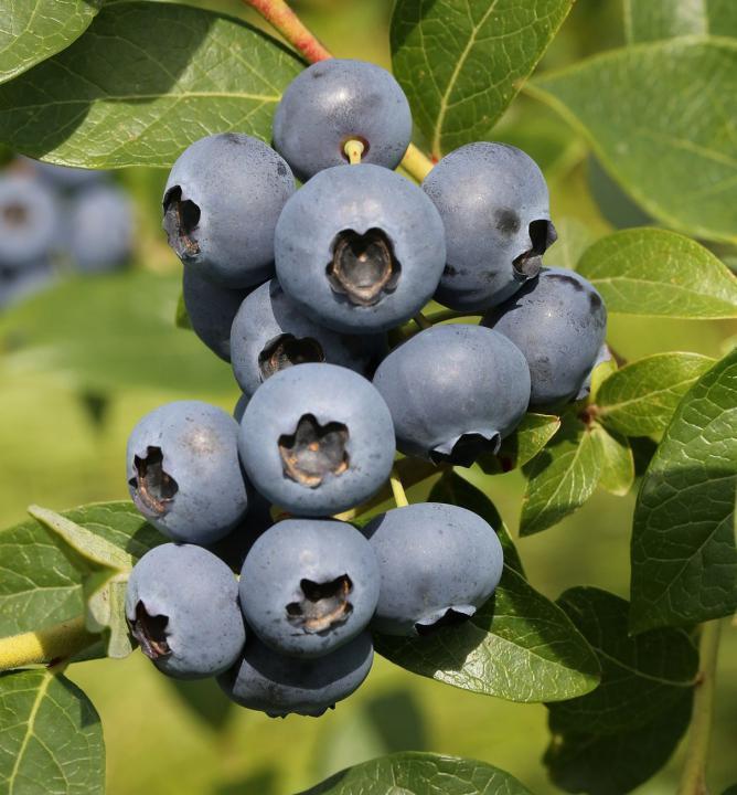 Drobné ovocie - Čučoriedka kanadská ´Bonus´
