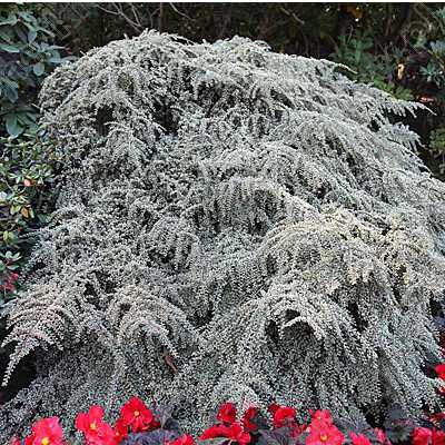 Plazivé rastliny - Skalník 'Variegatus'