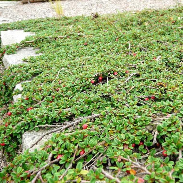 Plazivé rastliny - Skalník damerov ´ Streibs Findling ´