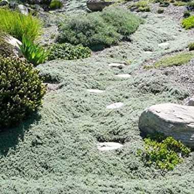 Plazivé rastliny - Materina dúška včasná 'Pseudolanuginosus'