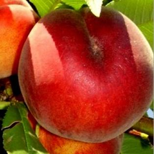 Ovocné stromy - Broskyňa ´Sprigcrest´ skorá
