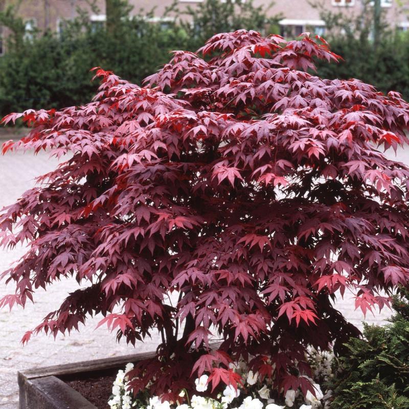 Listnaté stromy - Javor  dlaňovitolistý ´Bloodgood´