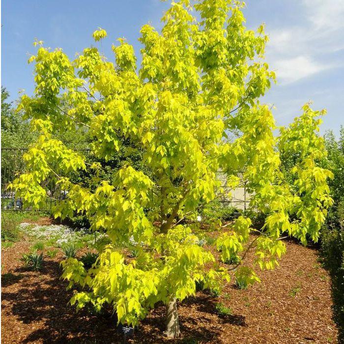 Listnaté stromy - Javor jaseňolistý ´Kelly´s Gold´