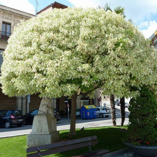 Listnaté stromy - Javor jaseňolistý ´Variegatum´