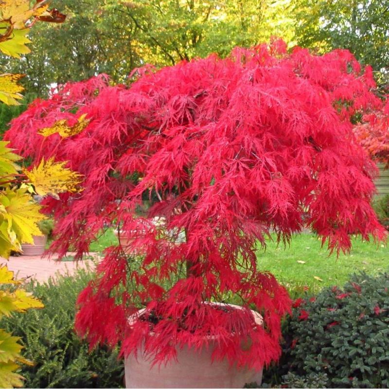 Listnaté stromy - Javor dlaňovitolistý ´Garnet´