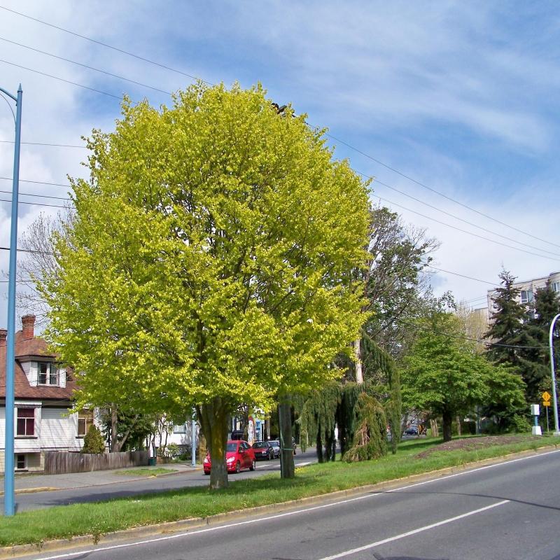 Listnaté stromy - Buk lesný ´Zlatia´