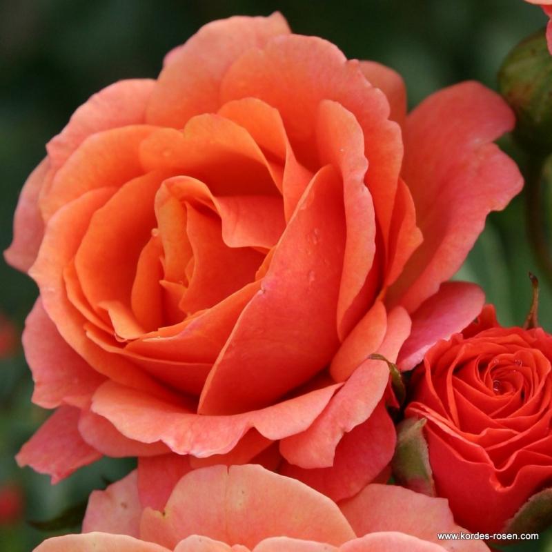 Ruže KORDES - Ruža ´Lambada´