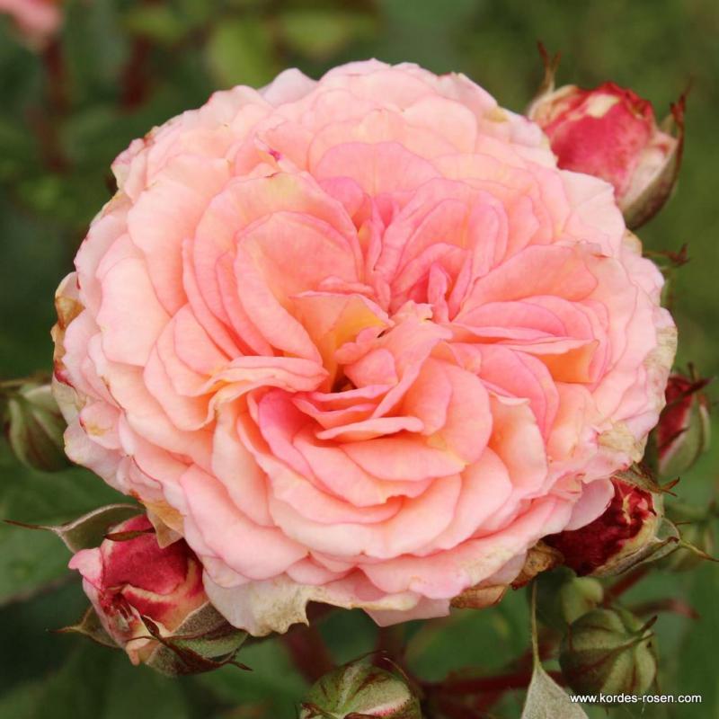 Ruže KORDES - Ruža ´Amaretto´