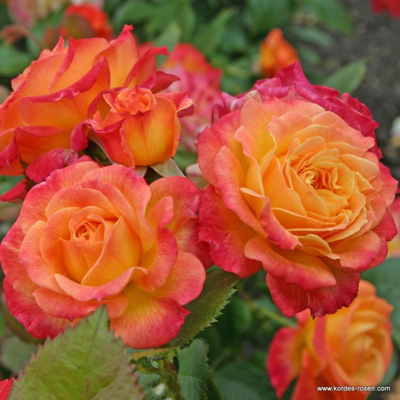 Ruže KORDES - Ruža ´Gartenspass´