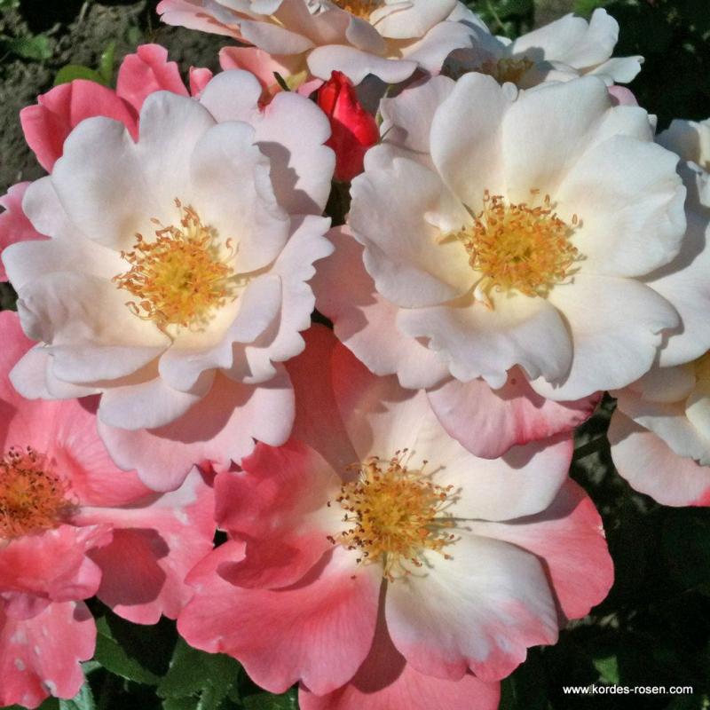 Ruže KORDES - Ruža ´Roseromantic´