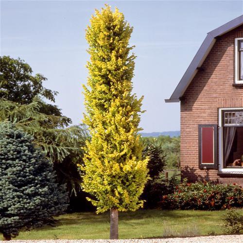 Listnaté stromy - Brest holandský ´Wredei´