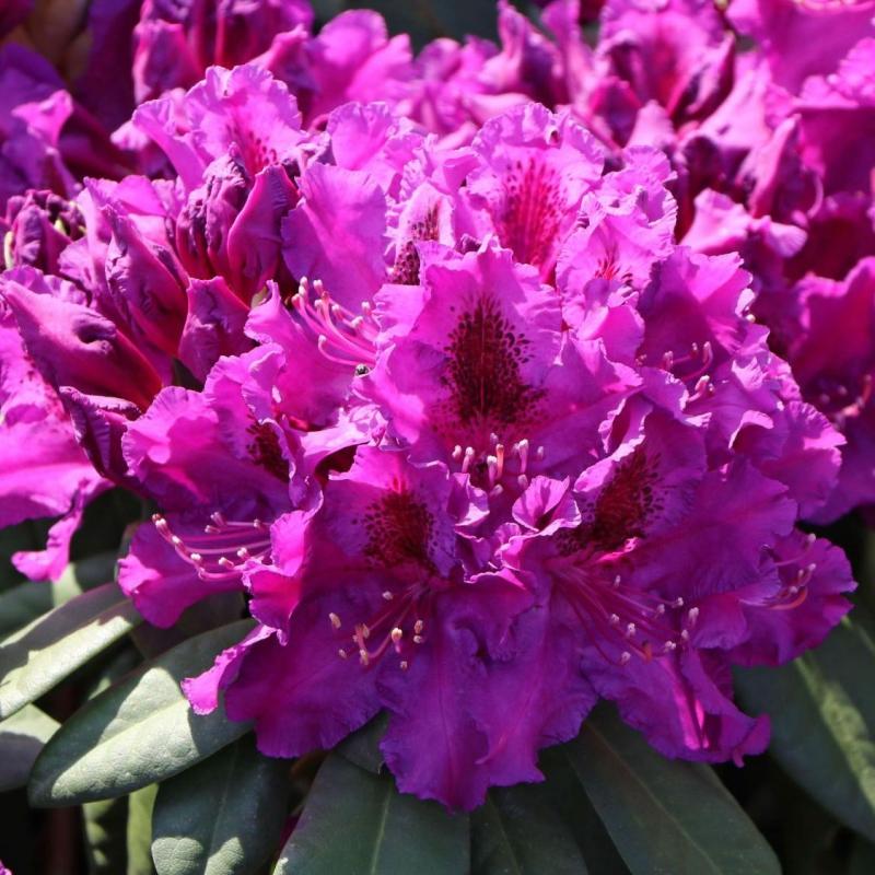Azalky a Rododendróny - Rododendrón ´Azurro´