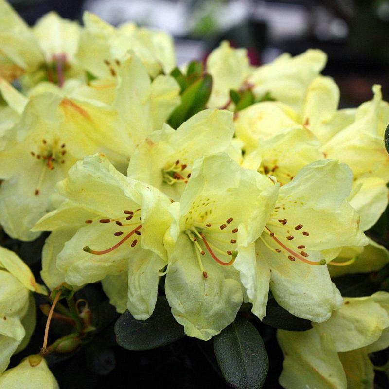 Azalky a Rododendróny - Rododendrón ´Wren´