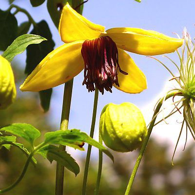 Popínavé rastliny - Plamienok tangutský ´Golden Tiara´