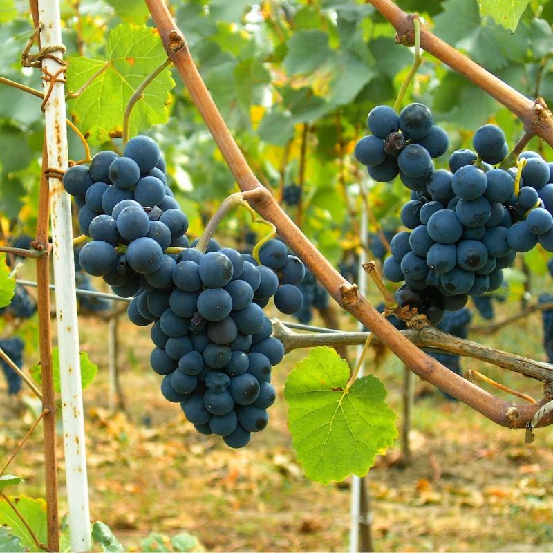 Viniče - Vinič stolový rezistentný ´Moldova´