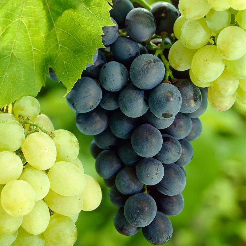 Viniče - Vinič stolový ´Glenora´