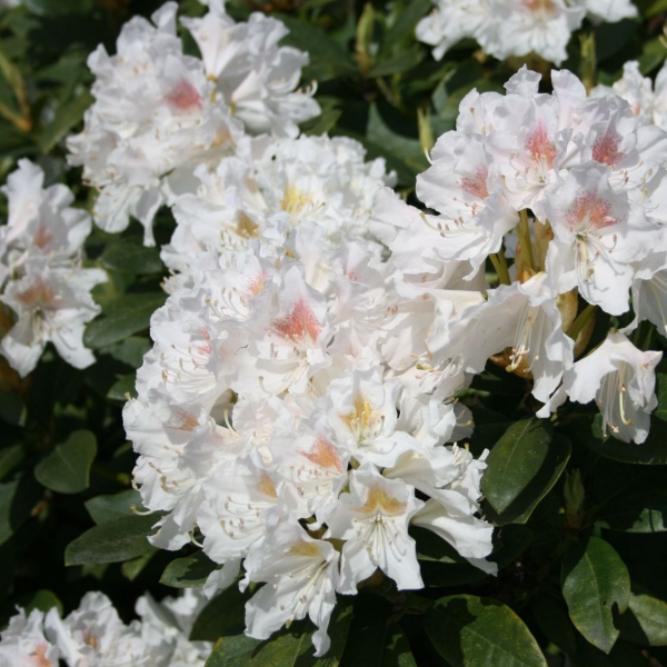 Azalky a Rododendróny - Rododendrón ´Cunninghams White´