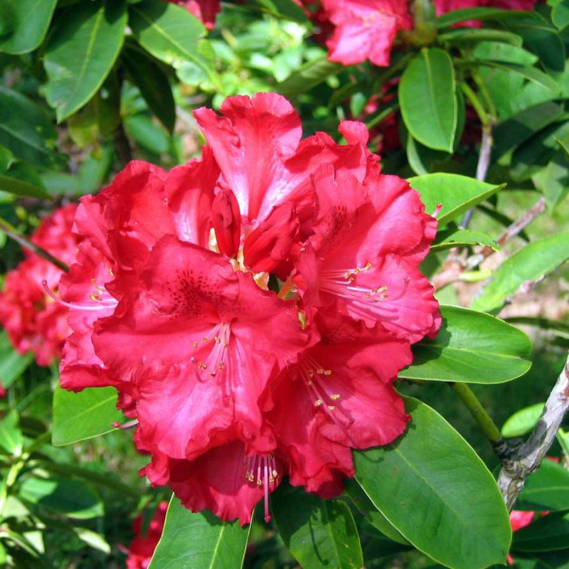 Azalky a Rododendróny - Rododendrón´Kluis Sensation´
