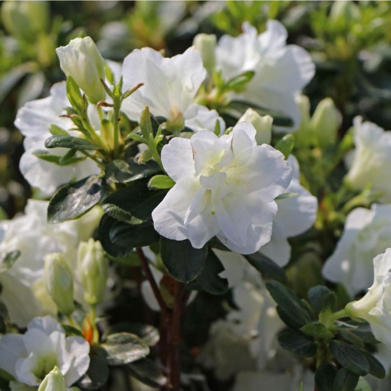 Azalky a Rododendróny - Azalka japonská ´Schneeperle´