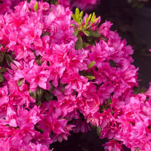 Azalky a Rododendróny - Azalka japonská ´Melina´