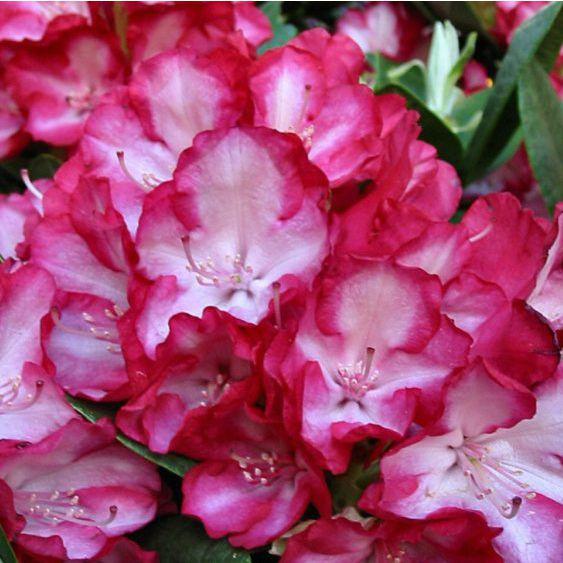 Azalky a Rododendróny - Rododendrón ´Ann Linsdsay´