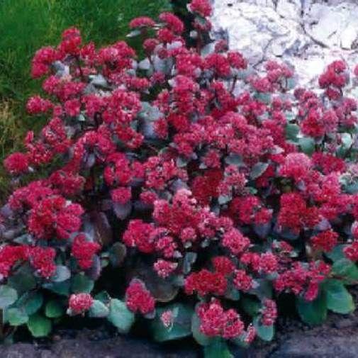 Trvalky - Rozchodník nádherný 'Red Cauli'