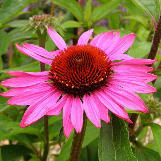Trvalky - Echinacea purpurea 'Magnus'