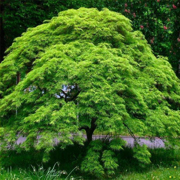 Listnaté stromy - Javor dlaňovitolistý ´Emerald Lace´