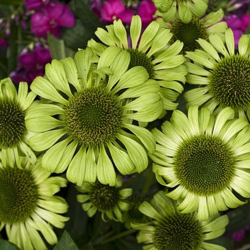 Trvalky - Echinacea ´Green Jewel´