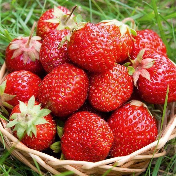 Drobné ovocie - Jahoda ´Rumba´ Exklusiv skorá odroda