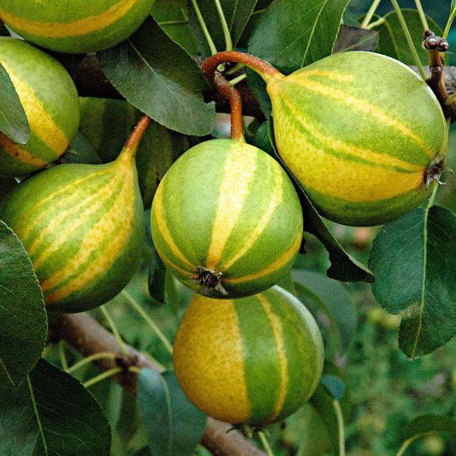 Ovocné stromy - Hruška ´Schweizer Hose´ jesenná