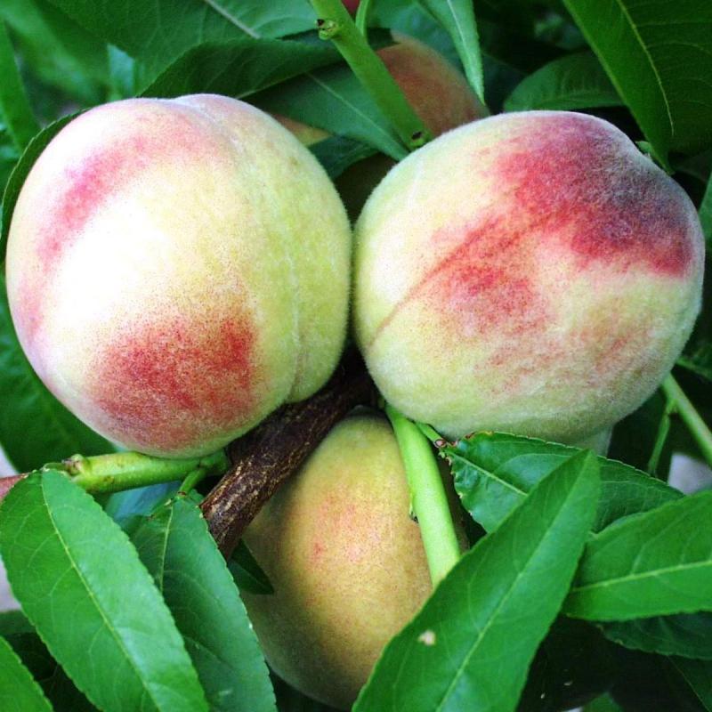Ovocné stromy - Broskyňa ´Albatros´ skorá