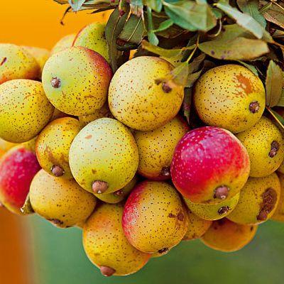 Ovocné stromy - Oskoruša ´Hrušková´