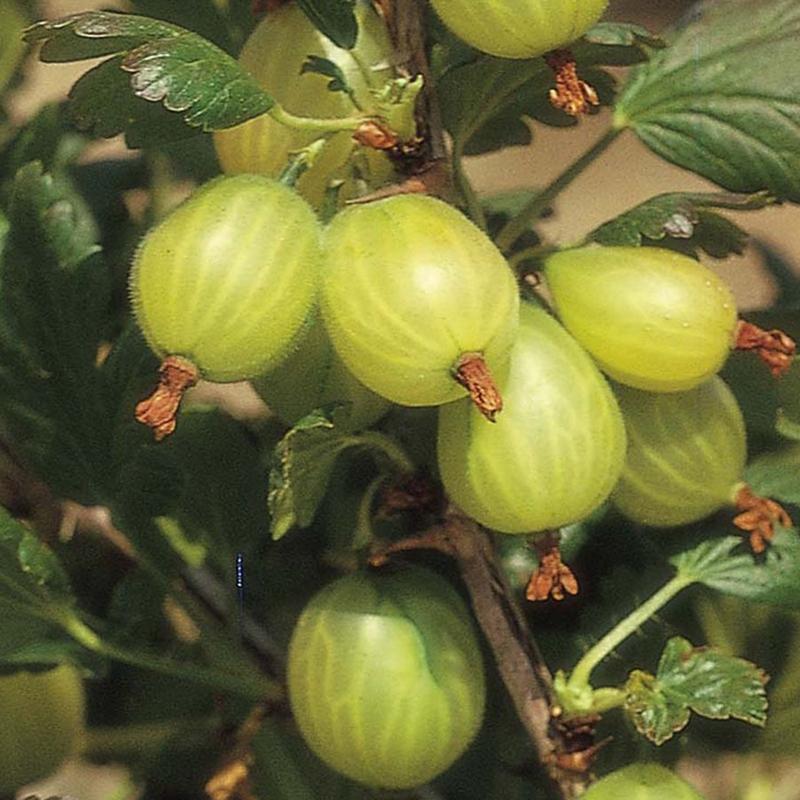 """Drobné ovocie - Egreš biely """"Invicta"""" stromčekový"""