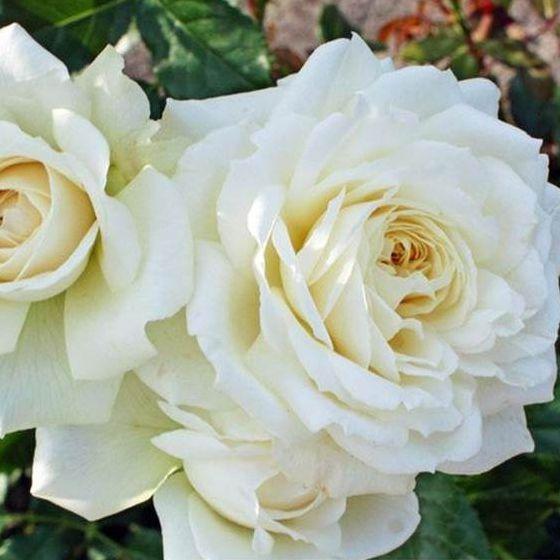 Ruže KORDES - Ruža ´Bianco´
