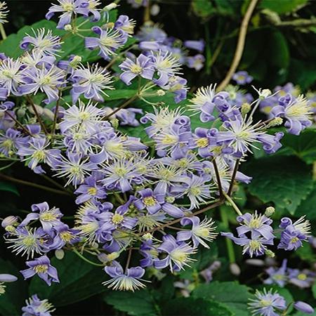 Popínavé rastliny - Plamienok ´Mrs.Robert Brydon´