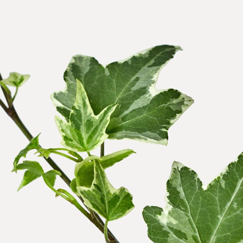 Popínavé rastliny - Brečtan popínavý ´White Ripple´