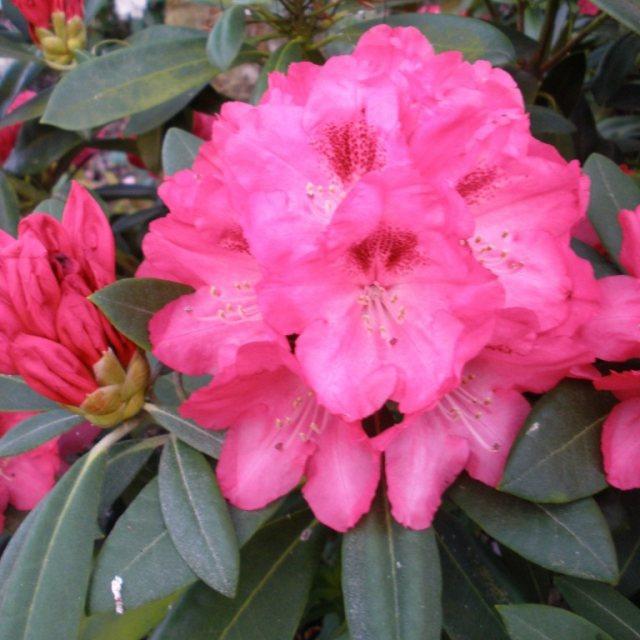 Azalky a Rododendróny - Rododendrón ´Sneezy´