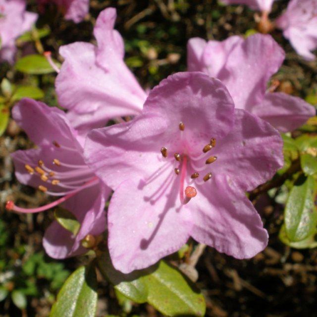 Azalky a Rododendróny - Rododendrón ´Snipe´