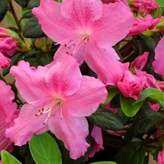 Azalky a Rododendróny - Azalka japonská ´Conny´