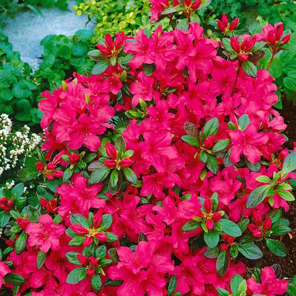 Azalky a Rododendróny - Azalka japonská ´Excelsior´