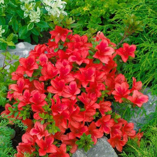 Azalky a Rododendróny - Azalka japonská ´Johana´